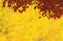 昭和記念公園の黄葉&紅葉