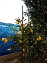 初収穫で柚子湯