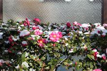 京都でも積雪
