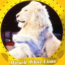 ホワイト ライオン ♪ (「`・д・)「ガオオォ