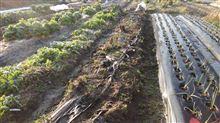 夏野菜用の畝整備と種蒔き