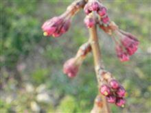 お花見日より近づく♬   3/28(金曜日)