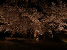 夜間撮影:桜:夕月神社