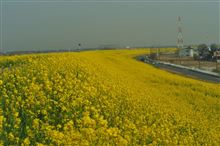 昨日の黄色い絨毯