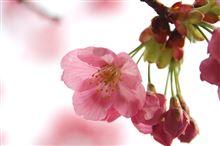 桜を求めて朝のお散歩へ^^ノシ