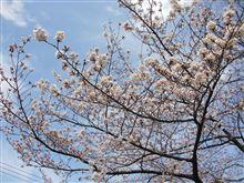 いよいよ桜の季節♪