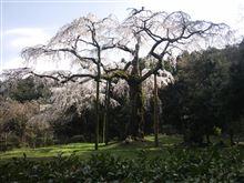 箱根に桜を見に行って来た