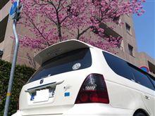 暖かくなってきて・・・ 桜が咲き始めました♪