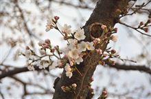 桜の見頃は・・・