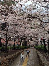やっと咲き始めた桜には酷な雨