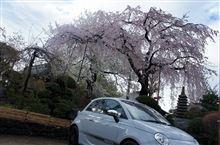 しだれ桜と大島桜