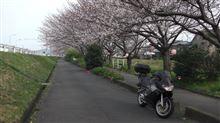 いい桜ですね。(今年はアプリリアと1枚)