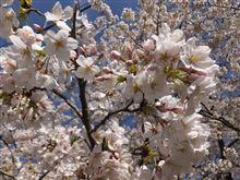 2014年・慶應の桜、満開
