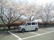 桜満開( ^^)Y☆Y(^^ )