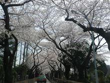青山墓地の桜並木...