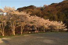 平成 26 年度 根来寺の桜撮影