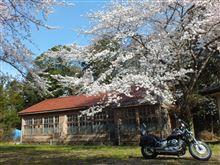 佐倉で桜巡り