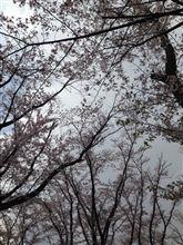 絶賛お花見中(≧∇≦)