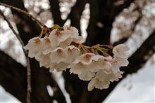 桜といえば・・・