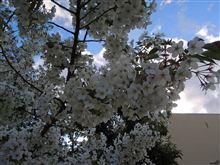 寒いので手短に!散る前桜