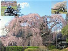 慈雲寺のイトサクラ&笛吹川桜並木