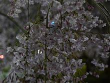 桜花を謳歌!?