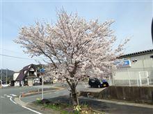 桜、さくら、サクラ^_^
