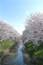 桜、今年はタイミングが合いました