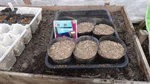ミラクルビーム2014年とアサガオ種蒔き+チーリップ