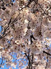 今週も桜満開^o^
