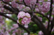 初めての造幣局の桜の通り抜け
