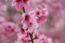 桜と桃の競演