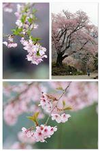 奥美濃の桜