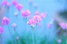 Kitano Flowers