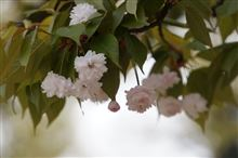 浄教寺の「手まり桜」