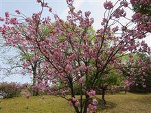 桜をもとめて・・・