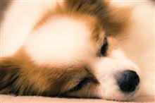 寝顔と肉球