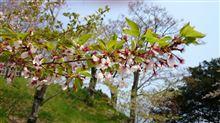 桜吹雪と葉桜
