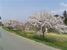 桜満開でつ (^^ゞ