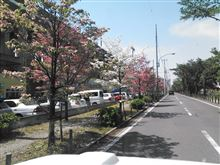 桜散りても