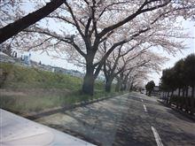 桜、さくら、サクラ!(新井田川沿い)