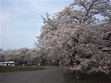 桜、さくら、サクラ!2(岩手県二戸市&九戸城跡)