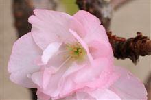 遅咲きにも 程がある。
