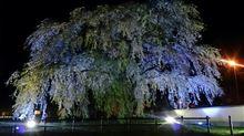 北斗市 法亀寺 しだれ桜(•ө•)♡