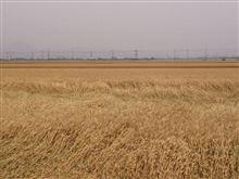 今年も麦秋の季節(^^