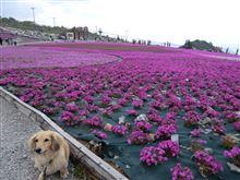茶臼山高原へ  綺麗な芝桜