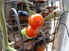 ベランダのミニトマトの元気が、、、