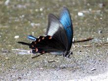 夏でも涼しい隋道で見つけた美しい蝶