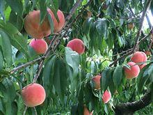 今年も桃、食べ放題!