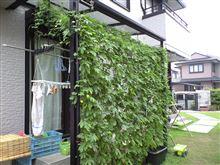 緑のカーテン2014【2ヶ月経過】